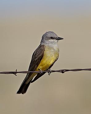 Western kingbird (Tyrannus verticalis), Pawnee National Grassland, Colorado, United States of America, North America