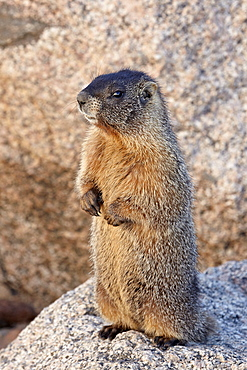 Yellow-bellied marmot (yellowbelly marmot) (Marmota flaviventris), Mount Evans, Arapaho-Roosevelt National Forest, Colorado, United States of America, North America