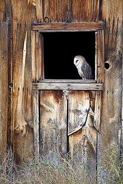 Captive barn owl (Tyto alba) in barn window, Boulder County, Colorado, United States of America, North America