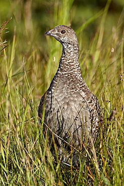 Dusky grouse (blue grouse) (Dendragapus obscurus) hen, Glacier National Park, Montana, United States of America, North America