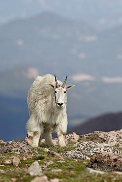 Mountain goat (Oreamnos americanus), Mount Evans, Arapaho-Roosevelt National Forest, Colorado, United States of America, North America