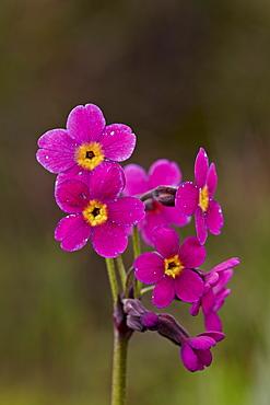 Parry's primrose (Primula parryi), San Juan National Forest, Colorado, United States of America, North America