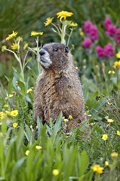 Yellow-bellied marmot (yellowbelly marmot) (Marmota flaviventris) among wildflowers, San Juan National Forest, Colorado, United States of America, North America