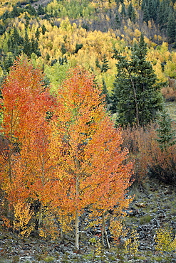 Orange aspens in the fall, San Juan National Forest, Colorado, United States of America, North America