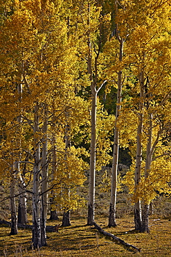Yellow aspens in the fall, San Miguel County, San Juan Mountains, Colorado, United States of America, North America