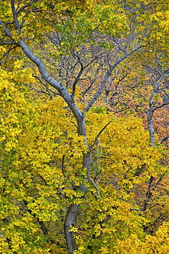 Box elder (boxelder maple) (maple ash) (Acer negundo) with yellow leaves in the fall, Zion National Park, Utah, United States of America, North America