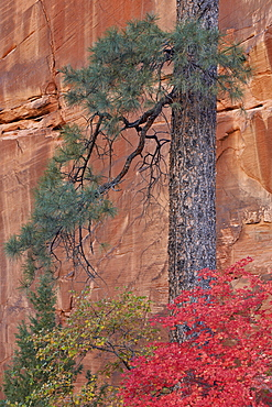 Red leaves on a big tooth maple (Acer grandidentatum) near a Ponderosa pine (Pinus ponderosa) trunk in the fall, Zion National Park, Utah, United States of America, North America