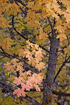 Yellow, orange, and red leaves on a big tooth maple (Acer grandidentatum) in the fall, Zion National Park, Utah, United States of America, North America