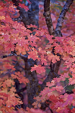 Red leaves on a big tooth maple (Acer grandidentatum) in the fall, Zion National Park, Utah, United States of America, North America