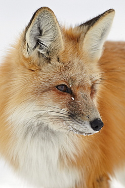 Red fox (Vulpes vulpes) in the snow, Grand Teton National Park, Wyoming, United States of America, North America