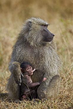 Olive baboon (Papio cynocephalus anubis) nursing, Serengeti National Park, Tanzania, East Africa, Africa