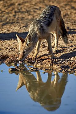 Black-backed jackal (silver-backed jackal) (Canis mesomelas) drinking, Kgalagadi Transfrontier Park, encompassing the former Kalahari Gemsbok National Park, South Africa, Africa