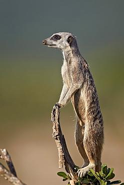 Meerkat (suricate) (Suricata suricatta) on sentry duty, Addo Elephant National Park, South Africa, Africa