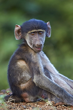 Infant Chacma baboon (Papio ursinus), Kruger National Park, South Africa, Africa