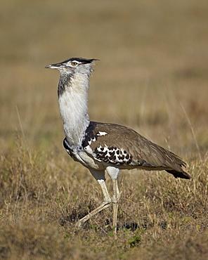 Male Kori bustard (Ardeotis kori) displaying, Ngorongoro Crater, Tanzania, East Africa, Africa
