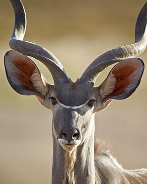 Greater kudu (Tragelaphus strepsiceros) buck, Kgalagadi Transfrontier Park, encompassing the former Kalahari Gemsbok National Park, South Africa, Africa