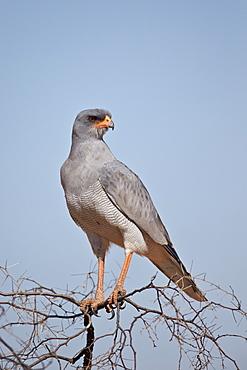 Southern pale chanting goshawk (Melierax canorus), Kgalagadi Transfrontier Park, encompassing the former Kalahari Gemsbok National Park, South Africa, Africa
