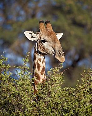 Cape giraffe (Giraffa camelopardalis giraffa) feeding, Kgalagadi Transfrontier Park, encompassing the former Kalahari Gemsbok National Park, South Africa, Africa