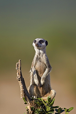Meerkat (suricate) (Suricata suricatta), Addo Elephant National Park, South Africa, Africa