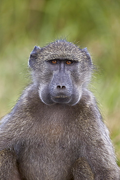 Chacma baboon (Papio ursinus) with its cheeks full of food, Hluhluwe Game Reserve, South Africa, Africa