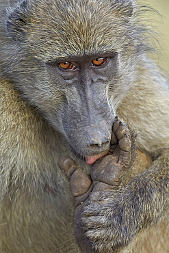 Chacma baboon (Papio ursinus) licking a wound on its foot, Kruger National Park, South Africa, Africa