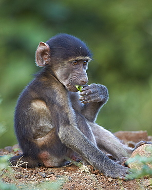 Infant Chacma baboon (Papio ursinus) eating, Kruger National Park, South Africa, Africa