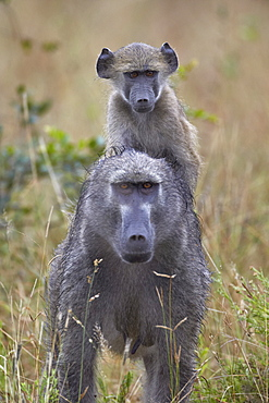 Young Chacma Baboon (Papio ursinus) riding on its mother's back, Kruger National Park, South Africa, Africa