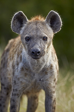 Young Spotted Hyena (Spotted Hyaena) (Crocuta crocuta), Kruger National Park, South Africa, Africa