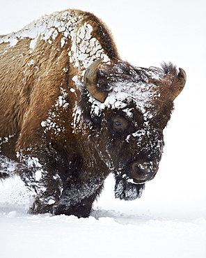 Bison (Bison bison) bull covered with snow in the winter, Yellowstone National Park, Wyoming, United States of America, North America