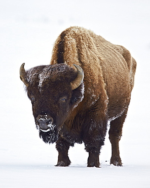 Bison (Bison bison) bull covered with frost in the winter, Yellowstone National Park, Wyoming, United States of America, North America