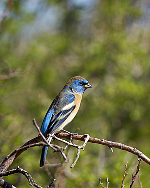 Lazuli bunting (Passerina amoena), male in winter plumage, Chiricahuas, Coronado National Forest, Arizona, United States of America, North America