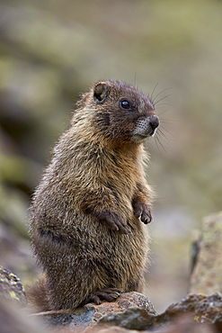 Young yellow-bellied marmot (yellowbelly marmot) (Marmota flaviventris) prairie-dogging, San Juan National Forest, Colorado, United States of America, North America