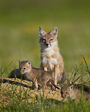 Swift fox (Vulpes velox) adult and two kits, Pawnee National Grassland, Colorado, United States of America, North America