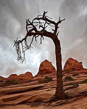 Dead evergreen tree and sandstone mounds, Zion National Park, Utah, United States of America, North America