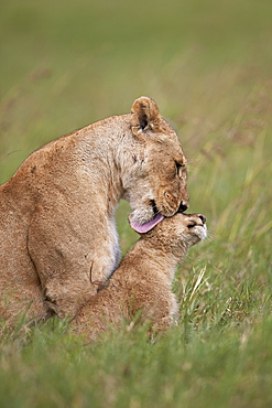 Lion (Panthera leo) female grooming a cub, Ngorongoro Crater, Tanzania, East Africa, Africa
