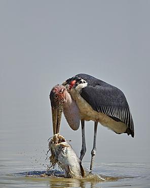 Marabou stork (Leptoptilos crumeniferus) feeding on a vundu (big catfish) (Heterobranchus longifilis), Selous Game Reserve, Tanzania, East Africa, Africa