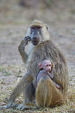 Yellow baboon mother and days-old infant, Ruaha National Park, Tanzania, East Africa, Africa