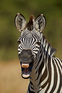 Common zebra (plains zebra) (Burchell's zebra) (Equus burchelli) yawning, Ruaha National Park, Tanzania, East Africa, Africa
