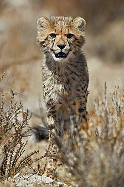Cheetah (Acinonyx jubatus) cub, Kgalagadi Transfrontier Park, encompassing the former Kalahari Gemsbok National Park, South Africa, Africa