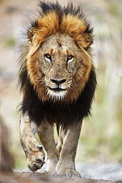 Lion (Panthera leo), Kruger National Park, South Africa, Africa