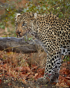 Leopard (Panthera pardus) with Cape porcupine quills stuck in it, Kruger National Park, South Africa, Africa