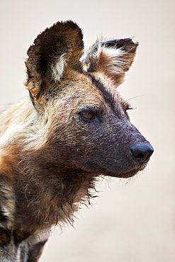 African wild dog (African hunting dog) (Cape hunting dog) (Lycaon pictus), Kruger National Park, South Africa, Africa