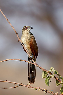 White-browed coucal (Centropus superciliosus), Ruaha National Park, Tanzania, East Africa, Africa