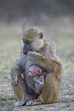Yellow baboon (Papio cynocephalus) mother and days-old infant, Ruaha National Park, Tanzania, East Africa, Africa