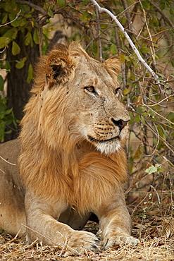 Male lion (Panthera leo), Ruaha National Park, Tanzania, East Africa, Africa