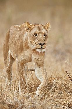 Lioness (Panthera leo), Ruaha National Park, Tanzania, East Africa, Africa