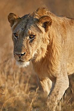Lion (Panthera leo), Ruaha National Park, Tanzania, East Africa, Africa