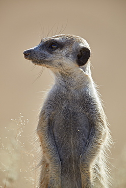 Meerkat (suricate) (Suricata suricatta), Kgalagadi Transfrontier Park, South Africa, Africa
