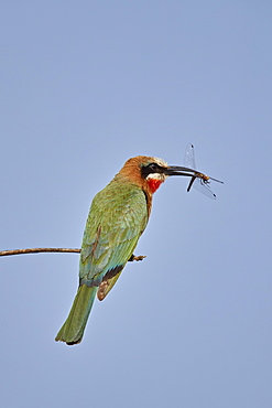White-fronted bee-eater (Merops bullockoides) with a dragonfly, Kruger National Park, South Africa, Africa