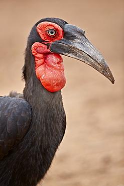 Southern ground-hornbill (Southern ground hornbill) (Bucorvus leadbeateri), male, Kruger National Park, South Africa, Africa